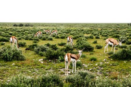 Impalas in Etosha.