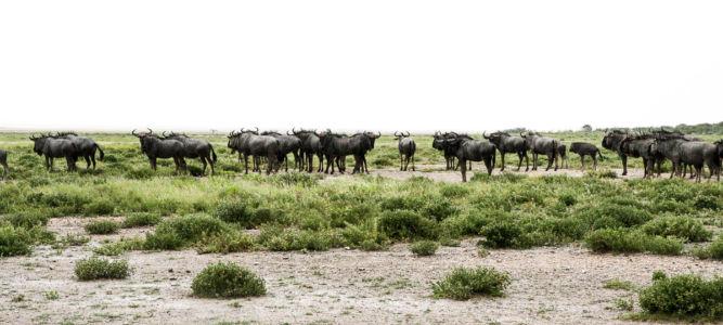 A buffalo convention.