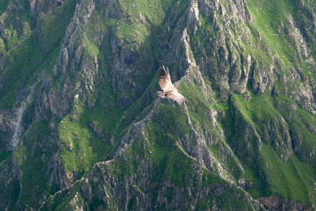 Condor in the Colca Canyon.
