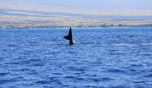 Hawaii-bigisland-whale-10