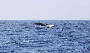Hawaii-bigisland-whale-5